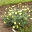 Euryops pectinatus flower
