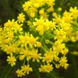 Euryops virgineus flower close