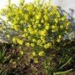 Euryops virgineus form flowers