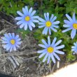Felicia amelloides flower close