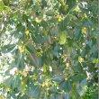 Ficus Burkei foliage