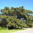 Ficus Burkei form