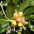 Ficus Burkei fruit
