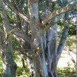 Ficus Burkei trunk