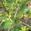 Ficus burtt-davyi branch