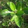 Ficus burtt-davyi foliage