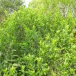 Ficus burtt-davyi form