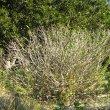 Ficus burtt-davyi pruned