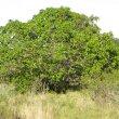 Ficus sur form