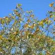 Ficus sur new foliage