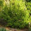 Gardenia cornuta form