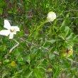 Gardenia cornuta foliage