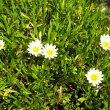 Gazania hybrid cream foliage