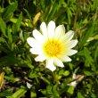 Gazania hybrid cream flower