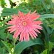 Gerbera jamesonii pink hybrid