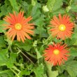Gerbera jamesonii single red