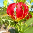 Gloriosa superba flower