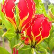 Gloriosa superba flower close