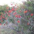 Greyia sutherlandia blooms