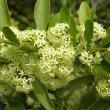 Gymnosporia buxifolia flower close