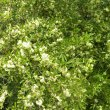 Gymnosporia buxifolia flower mass