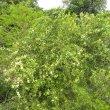 Gymnosporia buxifolia form