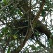Gymnosporia buxifolia nest