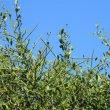Gymnosporia buxifolia thorns