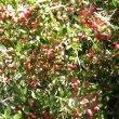 Gymnosporia polyacantha fruit
