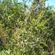 Gymnosporia polyacantha thorns