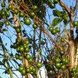 Halleria lucida fruit