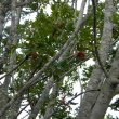 Harpephyllum caffrum bark