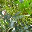 Harpephyllum caffrum buds