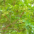 Harpephyllum caffrum flowers v. close