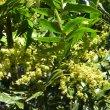 Harpephyllum caffrum flowers