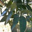 Harpephyllum caffrum foliage