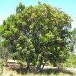 Harpephyllum caffrum form