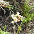 Harveya purpurea subsp. purpurea