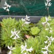 Haworthia cymbiformis flowers