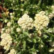 Helichrysum crispum buds