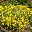 Helichrysum crispum flower mass