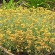 Helichrysum crispum flowers old
