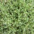 Helichrysum crispum foliage