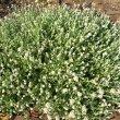 Helichrysum crispum form