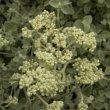 Helichrysum petiolare buds