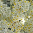 Helichrysum petiolare flowers