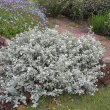 Helichrysum petiolare form