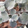 Helichrysum petiolare leaves