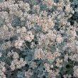 Helichrysum petiolare seed heads