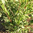 Hermannia hyssopifolia foliage